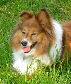 Are you looking for information on really different dog breeds? So, everyone has a Labrador, or a German Shepherd or a Poodle, one of the most popular of breeds of dog that you see everyday. Welsh Sheepdog, Shetland Sheepdog, Top Dog Breeds, Different Dogs, Dogs And Puppies, Doggies, Blue Merle, Sheltie, Pomeranian