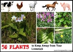 The Homestead Survival | Toxic Plants to Keep Away from Homesteading Animals | http://thehomesteadsurvival.com