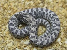 Locality & Color Morph Boa constrictors & selectively Bred Ball Pythons Color & Pattern Morphs, Cutting Edge Herpetological Inc. Western Hognose Snakes