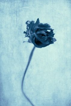 stanford-photography:  Flora Photographica Cyanotype - Photographer Jeff Stanford