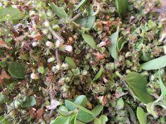 .: Flores de Manjericão: receita