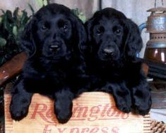 We will be getting a Flat Coated Retriever puppy in the next few years. They are the best dogs ever!