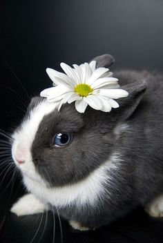 Why eat a flower when you can wear one?  Makes me wanna hot glue flowers to all my rabbits.  Would that be wrong?