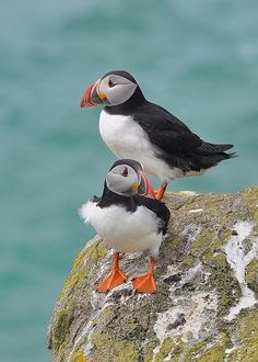 Puffins, Great Saltee Island, County Wexford, Ireland.