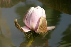 FLOWER OF GIANT VICTORIA AMAZONICA.........BING IMAGES........