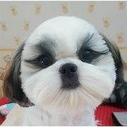 FUNNY CUT | Shih Tzu | Pinterest | Face, Dog and Animal