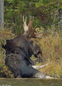Moose Laying In The Water to cool off Moose Pics, Moose Pictures, Moose Deer, Moose Hunting, Bull Moose, Animal Pictures, Beautiful Creatures, Animals Beautiful, Animals And Pets