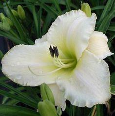 Hemerocallis Hybride 'Arctic Snow' - Taglilie (großblumig), 60 cm hoch, blüht 6 - 8, gut zu ergänzen mit spätblühender Taglilie