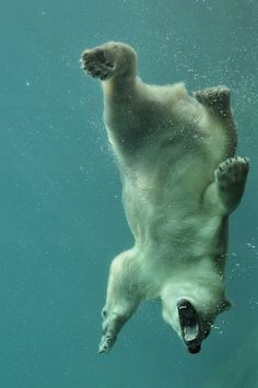 The polar bear is an excellent swimmer ...Look!