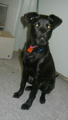 """#PUPPY ON DEATHROW - PAST DUE - URGENT - NEEDS OUT!!!! SHARE / PLEDGE/  FOSTER / ADOPT! """"Nancy"""" #4115 #PASTDUE 8-12 Owner surrender, can no longer afford :(( Nancy interacts well with staff, is shy! Year 2013 Tag #4115 Type DOG Sex FEMALE Breed LAB X Color BLACK Cage # F1 Age 8-10 mths Adopt/Rescue/ Euthanasia Date 08/12/2013 ADOPTABLE Admitted Date 08/08/2013 Area Pickup: AVON ST, GASTONIA Remarks: Shy"""