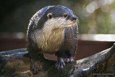 """""""River Spirit"""", nutria descansando sobre un tronco después de nadar un poco en el Zoo Santo Inácio."""