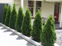 Thuja Occidentalis Smaragd - conifers that grown in a conical shape Conifer Trees, Trees And Shrubs, Privacy Landscaping, Garden Landscaping, Arborvitae Landscaping, Emerald Green Arborvitae, Thuja Occidentalis, Growing Tree, Hedges