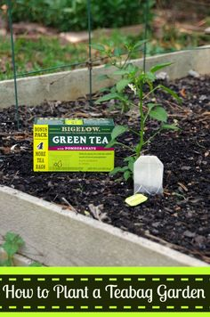 Using used teabags as a sprouting medium for your garden.  How to Plant a Teabag Garden (#AmericasTea #shop)