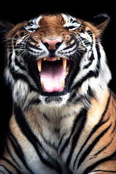 Tiger by Carl Stovell