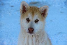 """Greenlandic dog"" by Nikku Brandt Greenland Dog, Husky Dog, Puppies, Humor, Friends, Dogs, Cute, Animals, Ice Cream Popsicle"
