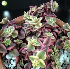 Crassula Pellucida a.k.a. Calico Kitten, Variegated,  Beautiful Succulent - Drought Tolerant, Xeriscape, Rock Garden, Cactus, Aloe