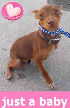 ADOPTED !! MARY (A1717278) I am a female chocolate and brown Chihuahua - Smooth Coated. The shelter staff think I am about 4 months old. I was confiscated and I may be available for adoption on 08/17/2015. Miami Dade https://www.facebook.com/urgentdogsofmiami/photos/pb.191859757515102.-2207520000.1439243160./1025765470791189/?type=3&theater