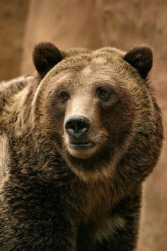 Beautiful Head Shot of a Grizzly Bear. Bear Head, Bear Face, Bear Pictures, Animal Pictures, Pato Animal, Polar Bear, Teddy Bear, Grizzly Bears, Love Bear