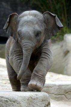 Animal Jokes Are So Bad They're GOOD…I'm Cracking Up! A Jason le encanta elefantes.A Jason le encanta elefantes. Cute Baby Elephant, Little Elephant, Cute Baby Animals, Animals And Pets, Baby Elephants, Funny Elephant, Elephant Elephant, Asian Elephant, Elephants Photos
