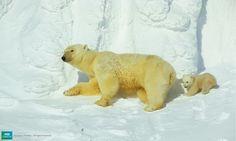 Polar Bear Cubs Emerge From Their Den