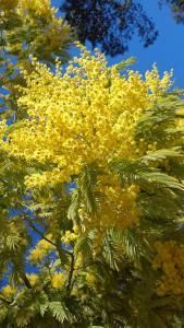 Acacia Dealbata is a yellow flowering Mimosa tree or shrub with with fragrant yellow flower heads and evergreen foliage. Mature specimens for Sale Online Acacia, Indoor Garden, Garden Plants, Specimen Trees, Garden Show, Evergreen Shrubs, Mimosas, Flower Beds, Yellow Flowers
