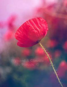 Poppy flower restyled - flora053