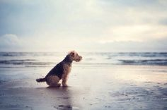 Welsh Terrier at the beach!!!!