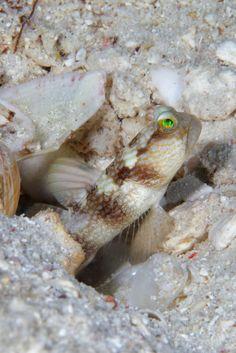 Shrimp Goby   da PacificKlaus