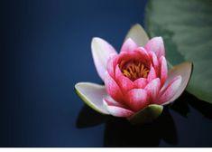 Free Image on Pixabay - Water Lilies, Lotus, Pond, Blossom Water Flowers, All Flowers, Water Lilies, Lotus Flowers, July Birth Flower, Birth Month Flowers, Lotus Flower Pictures, Lotus Image, Beautiful Flowers Images
