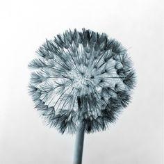 An inverted macro shot of a dandelion, shot on a black background.  www.101prints.com  Google Image Result for http://www.101prints.com/products/1221722925_dandelion-black-and-white.jpg