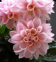 Dahlia II by miss-gardener on DeviantArt Amazing Flowers, Pink Flowers, Beautiful Flowers, My Secret Garden, Dream Garden, Pink Garden, Garden Inspiration, Perennials, Planting Flowers