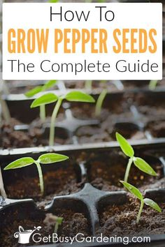 Growing peppers from seed is easy once you know how. Learn everything you need to be successful, from sowing to transplanting, in this step-by-step guide. Growing Green Peppers, Growing Jalapenos, Growing Greens, Growing Plants, Growing Tomatoes, Growing Sunflowers, Chilli Seeds, Pepper Seeds, Gardens