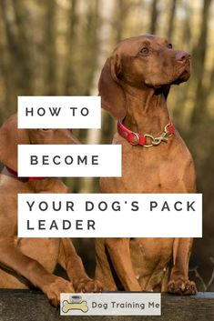 Should you learn how to become your dog's pack leader? And can it put an end to their bad behavior? Learn the 5 things you should do so you can take control of your dog and be able to train your dog effectively! Click through for more info now. #packleader #dogtraining #trainyourdog