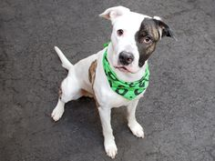 GONE 5/6/2015 --- Manhattan Center BRUNO MARS – A1034051  ***SAFER : EXPERIENCED HOME***  MALE, WHITE / BLACK, PIT BULL MIX, 3 yrs STRAY – STRAY WAIT, NO HOLD Reason STRAY Intake condition EXAM REQ Intake Date 04/22/2015