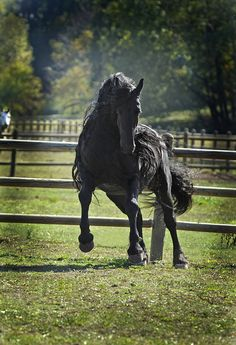 Frederik the Great Friesan stallion horse. Most beautiful horse I have EVER SEEN! WAtch the video on him!