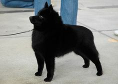 I can also see myself owning a Schipperke. Schipperke Puppies, Loyal Dogs, Paws And Claws, My Animal, Beautiful Dogs, Dogs And Puppies, Doggies, I Love Dogs, Best Dogs