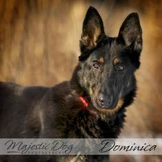 Dominica is a beautiful German shepherd who came to the shelter as a stray, and what a wonderful dog! She's 1 year old and 52 lbs., and she excelled in her behavioral assessment with our certified dog trainer, earning high honors in her reactions to situations a dog would encounter in a household setting, such as people approaching her food, new people approaching her, and other scenarios. She sniffed other dogs she met and backed away from cats.