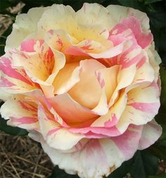 """Pretty as a picture... Striped Rose variety """"Claude Monet"""""""