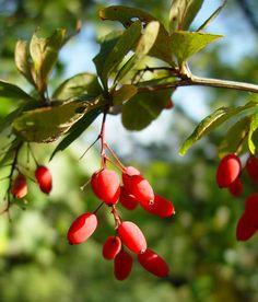 Common barberry or European barberry (Barberis vulgaris)