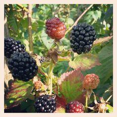 Blackberries. Photo by mademoiselle MAYBEE. August 2013, Estonia.
