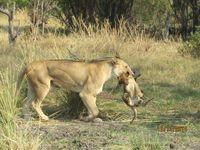 Monthly newsletter for Little Vumbura, Okavango Delta, Botswana October 2014