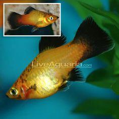 beautiful colored platy fish - Google Search