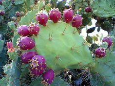 Prickly pear cactus (and fruit) is native to the Americas. They are cold tolerant and spread easily covering large areas. The fruit known as Tunas (in Spanish) is consumed after removing the spines. Opuntia Cactus, Cactus Y Suculentas, Prickly Pear Syrup Recipe, Prickly Pear Recipes, Prickly Pear Margarita, Prickly Pear Cactus, Watermelon Margarita, Pitaya, Cactus Recipe