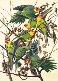 Un grupo de cotorras de las carolinas, una especie extinta a principios del siglo XX. La acuarela, fechada en torno a 1825, es del artista y ornitólogo John James Audubon, que a lo largo de su vida produjo una inmensa colección de ilustraciones de animales tan hermosas como detalladas
