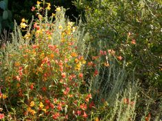 Carpenteria Californica Drought Tolerant Natives Pinterest