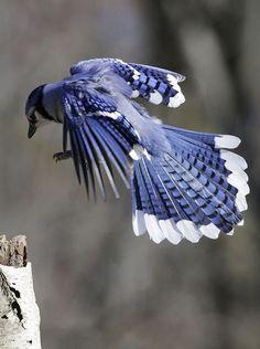 wooddove — flowerling: blue jay landing by Steve Courson Jay Bird, Blue Bird, Pretty Birds, Beautiful Birds, Pretty Horses, World Birds, Cool Wallpapers For Phones, Exotic Birds, Blue Jay