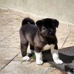 Suki from İstanbul . She is American Akita
