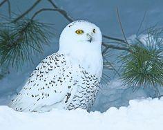 SchneeEule 8 x 10Tierfotografie Wildlife Natur