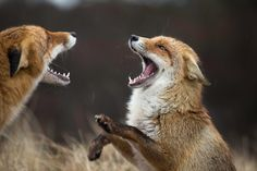 Red Foxes by Bart Vialle on Red Fox, Foxes, Animals, Animaux, Red Tail Fox, Animal, Fox, Animales, Animais