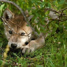 Little Wolf Pup Hiding. Wolf Images, Wolf Photos, Wolf Pictures, Animal Pictures, Beautiful Wolves, Most Beautiful Animals, Majestic Animals, Baby Animals, Cute Animals